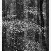 Dogwood Blossoms, Dark Forest 3