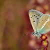 Polyommatus (Agrodiaetus) vanensis