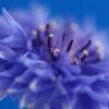 Cornflower 2