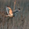 Short-eared Owl (image 3 of 3)