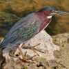 Green Heron in the Everglades