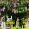 Of Wisteria Blooms