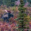 The Arrival of Fall in Denali