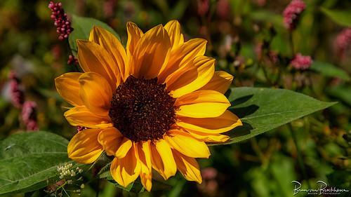 Sunflower on a Sunny Summer Day